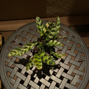 Rattlesnake Plant (prev. Calathea lancifolia) plant photo by Melissa named Your plant on Greg, the plant care app.