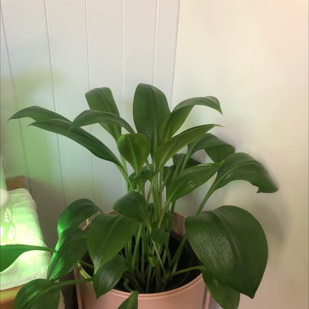 Photo of the plant species Urceolina amazonica by Naomi named Arianna on Greg, the plant care app