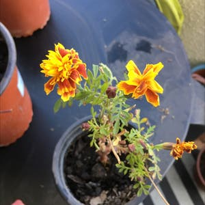 African Marigold plant photo by Renataruizpozo named anya on Greg, the plant care app.
