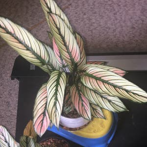 Majestic Prayer Plant plant photo by Ashton named Calathea White star on Greg, the plant care app.