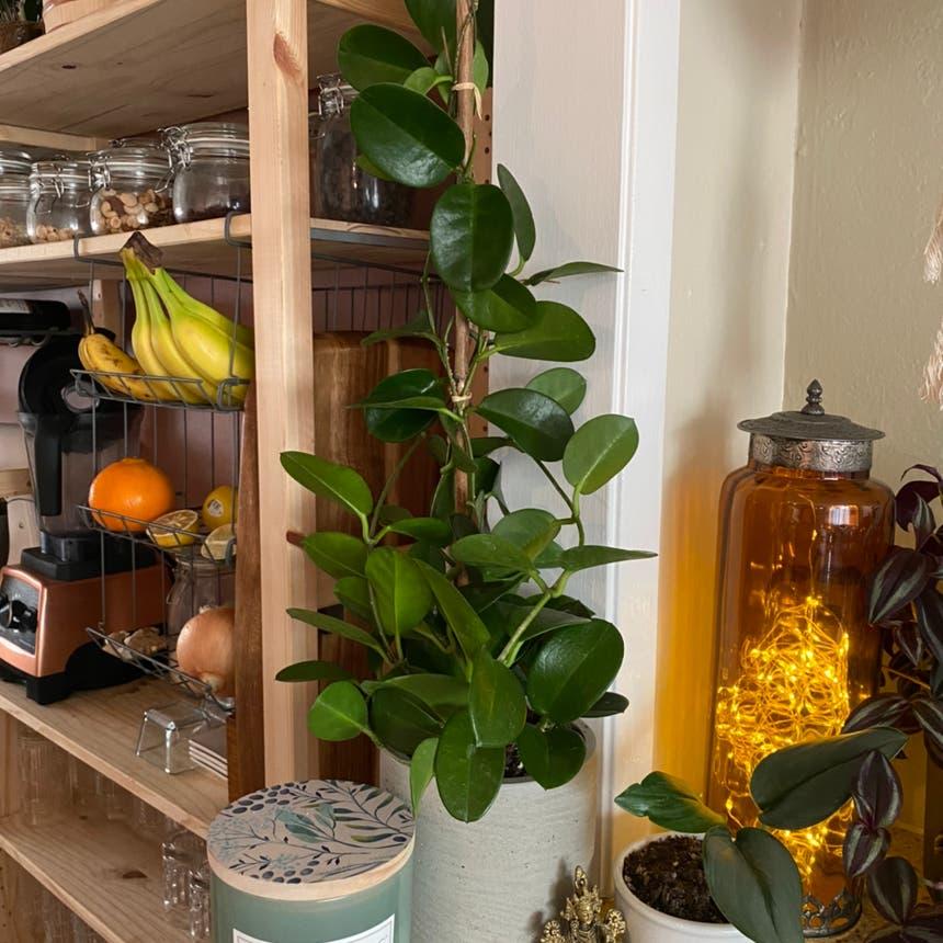 Hoya obovata plant in Somewhere on Earth