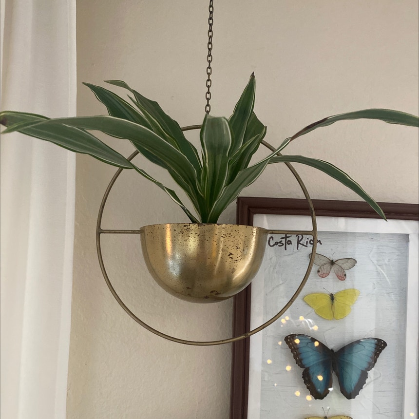 Cornstalk Dracaena plant in Somewhere on Earth