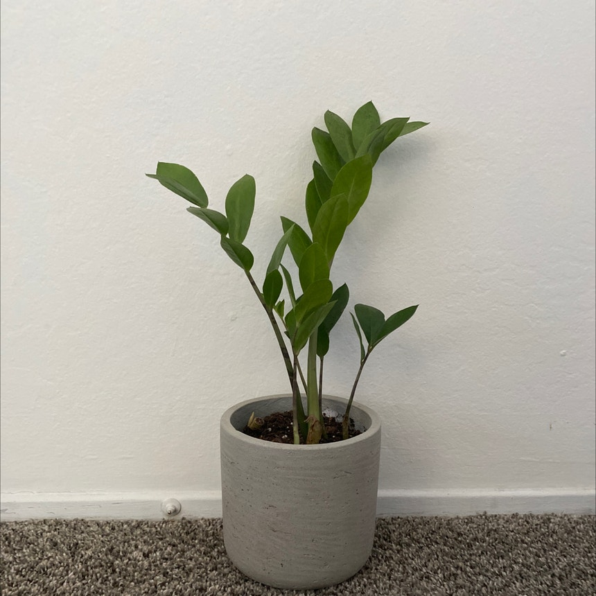 ZZ plant plant in Somewhere on Earth