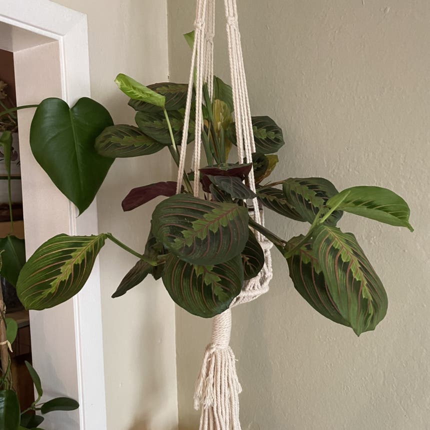 Green Prayer Plant plant in Somewhere on Earth