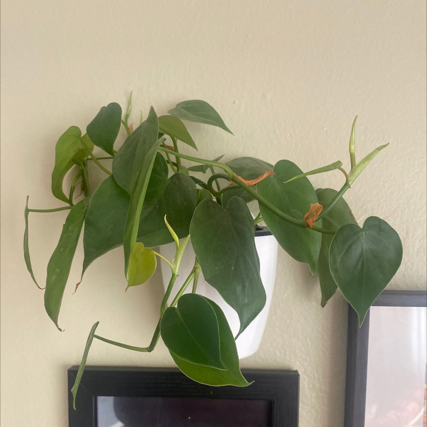 Heartleaf philodendron plant in Somewhere on Earth