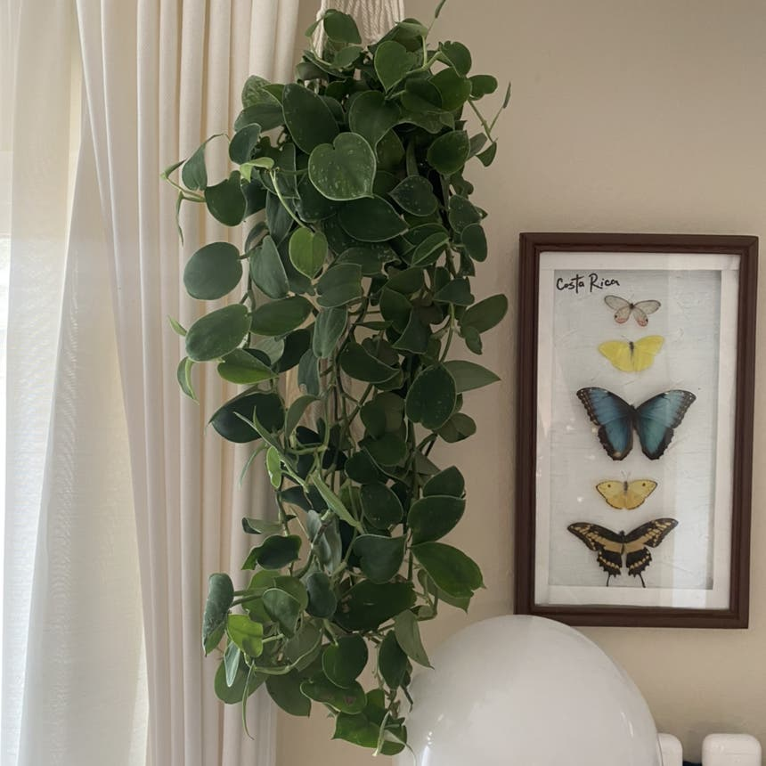 Vining Peperomia plant in Somewhere on Earth