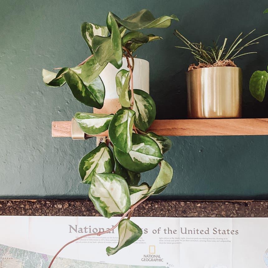 Krimson Princess Hoya plant in Somewhere on Earth