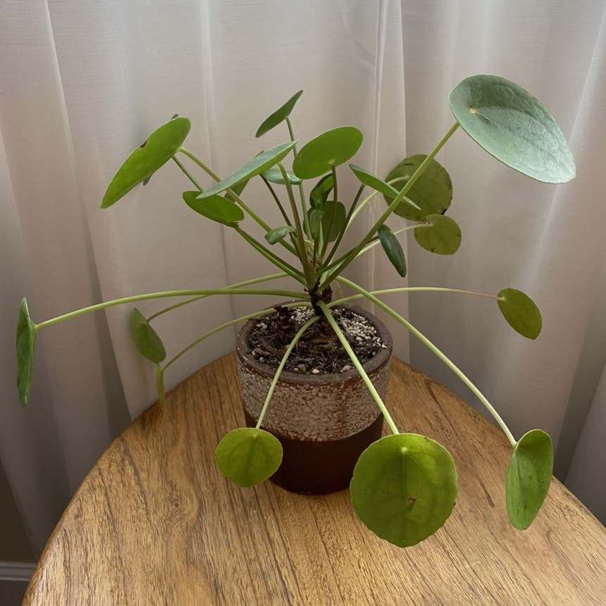 Chinese Money Plant plant in Somewhere on Earth