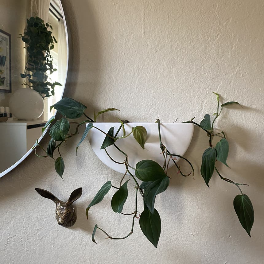 Philodendron 'Micans' plant in Somewhere on Earth