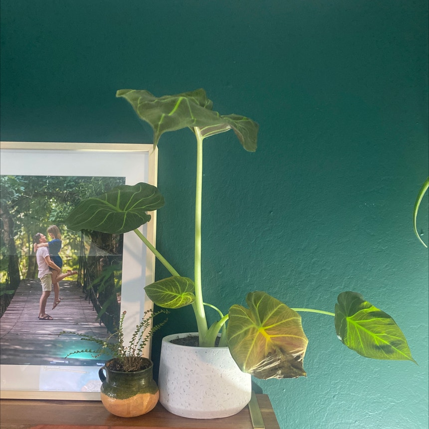 Alocasia 'Regal Shields' plant in Somewhere on Earth
