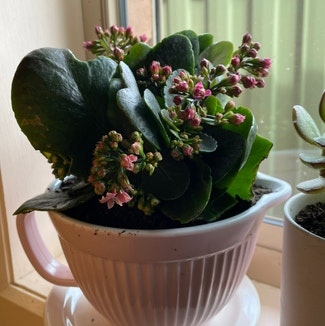 Florist Kalanchoe plant in Hoppers Crossing, Victoria