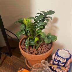 ZZ plant plant