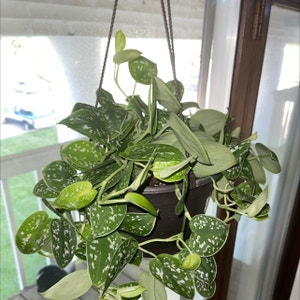 Silver Satin Pothos plant photo by Cloudy.anahiii named bell ✨ on Greg, the plant care app.
