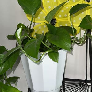 Pothos 'Jade' plant photo by Cloudy.anahiii named Stella on Greg, the plant care app.