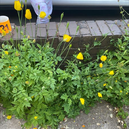 Photo of the plant species Welsh poppy by Demi-lea named Yellow front garden on Greg, the plant care app