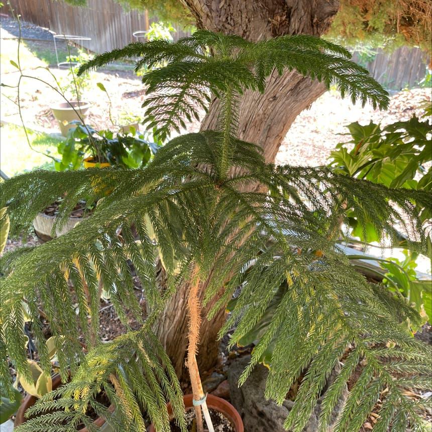 Norfolk Island Pine plant in Arvada, Colorado