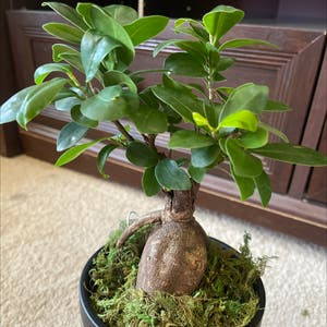 Rating of the plant Ficus Ginseng named Gin Gin by Nishlaursen on Greg, the plant care app