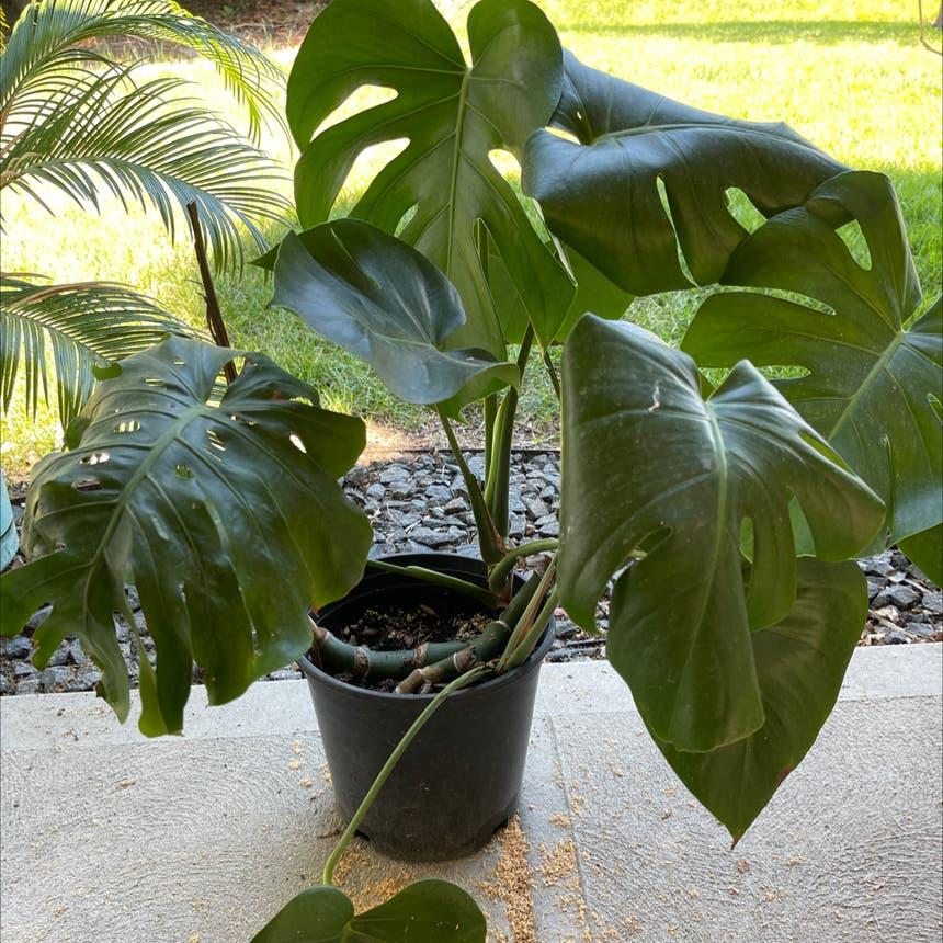 Monstera plant in Arvada, Colorado