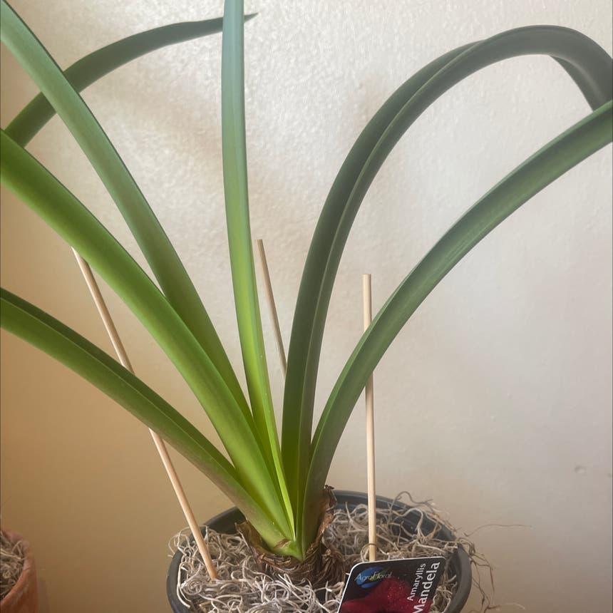 Barbosa Lily plant in Arvada, Colorado