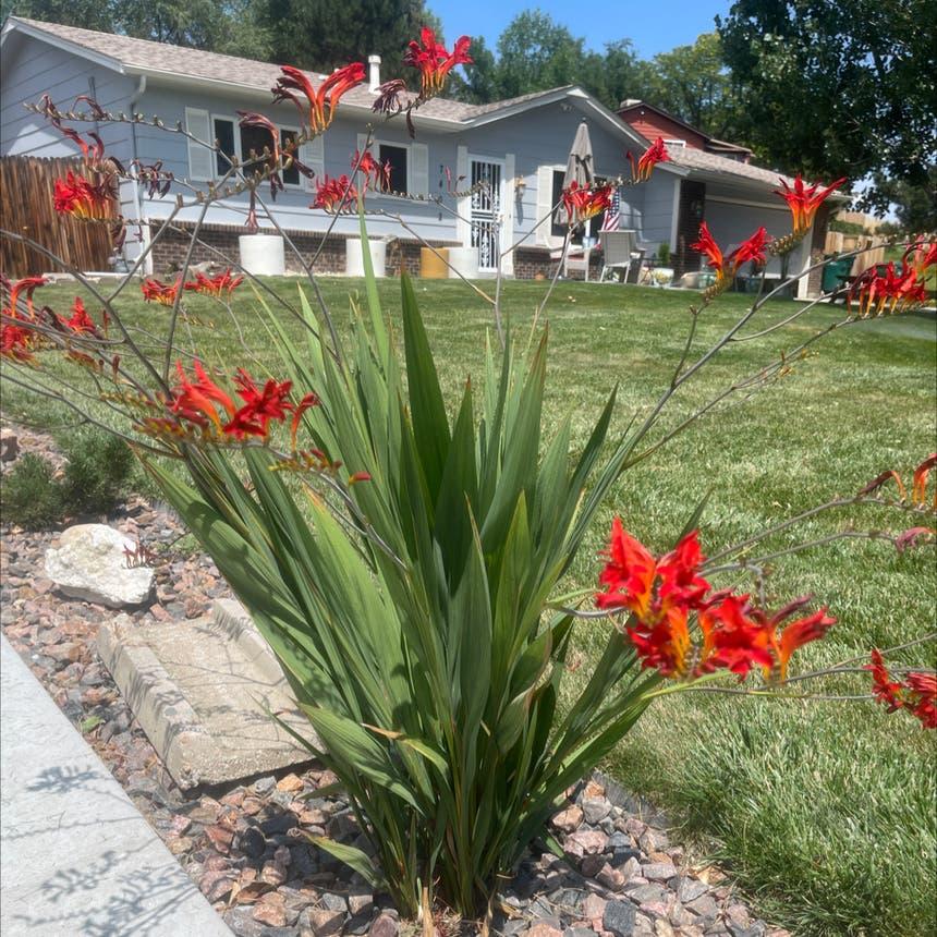 Greater cobra lily plant in Arvada, Colorado