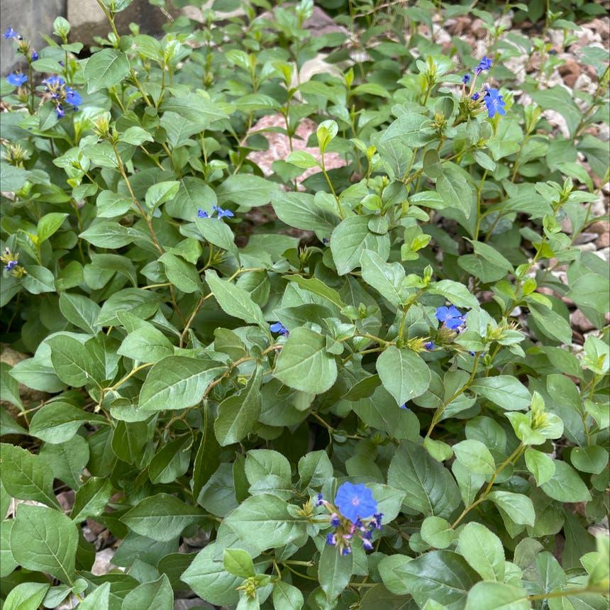 hardy blue-flowered leadwort plant in Arvada, Colorado