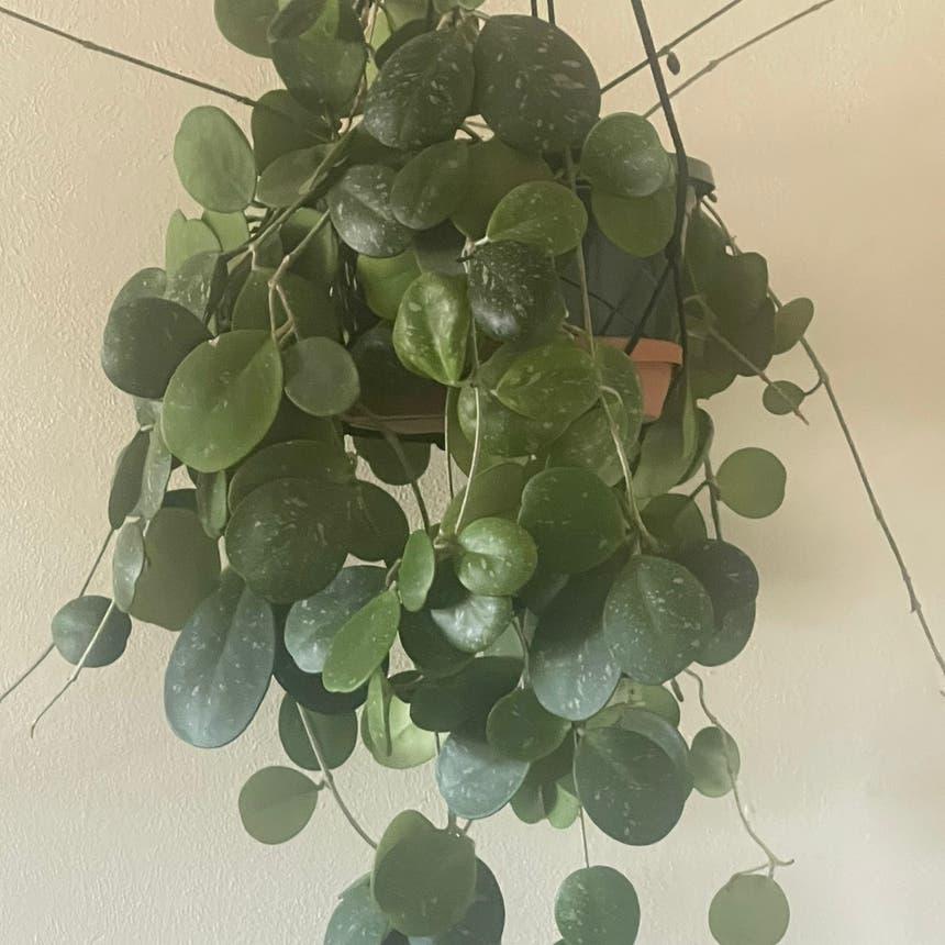 Waxplant plant in Arvada, Colorado