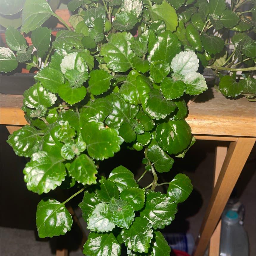 Swedish Ivy plant in Arvada, Colorado
