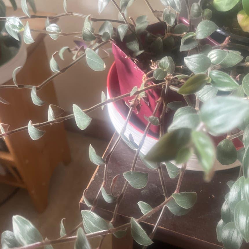 Creeping Inch Plant plant in Arvada, Colorado