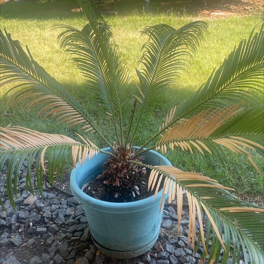 Sago Palm plant in Arvada, Colorado