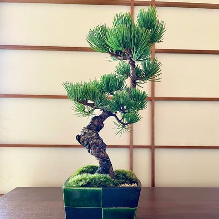 Photo of the plant species Scots pine by Taro named Goyoumatsu on Greg, the plant care app