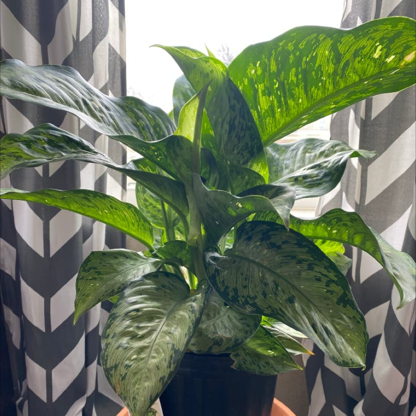 Photo of the plant species Dieffenbachia by Krystal named Keanu Leaves on Greg, the plant care app