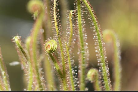 Photo of the plant species Thread-Leaved Sundew by Bsquared named Zeus on Greg, the plant care app