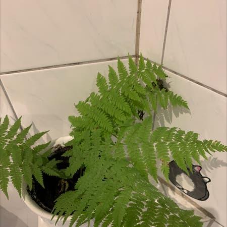 Photo of the plant species Asplenium ladyfern by Wardoo named Fernie Saunders on Greg, the plant care app