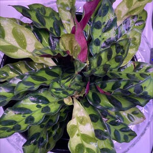 Rattlesnake Plant (prev. Calathea lancifolia) plant photo by Cxswan2187 named Luna on Greg, the plant care app.