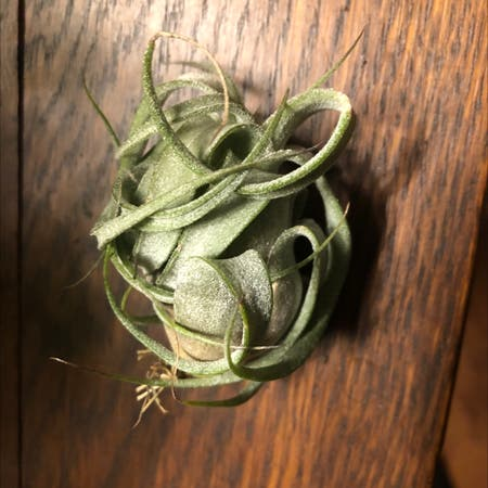 Photo of the plant species Shirley Temple Air Plant by Thtmadihatter named Jinora on Greg, the plant care app