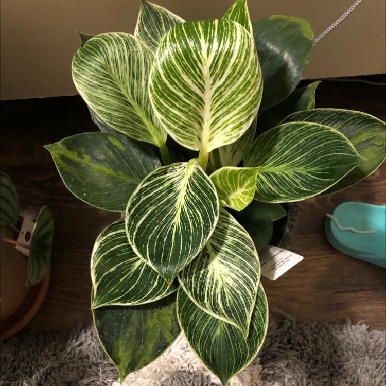 Photo of the plant species Philodendron 'Birkin' by Thtmadihatter named Asami on Greg, the plant care app