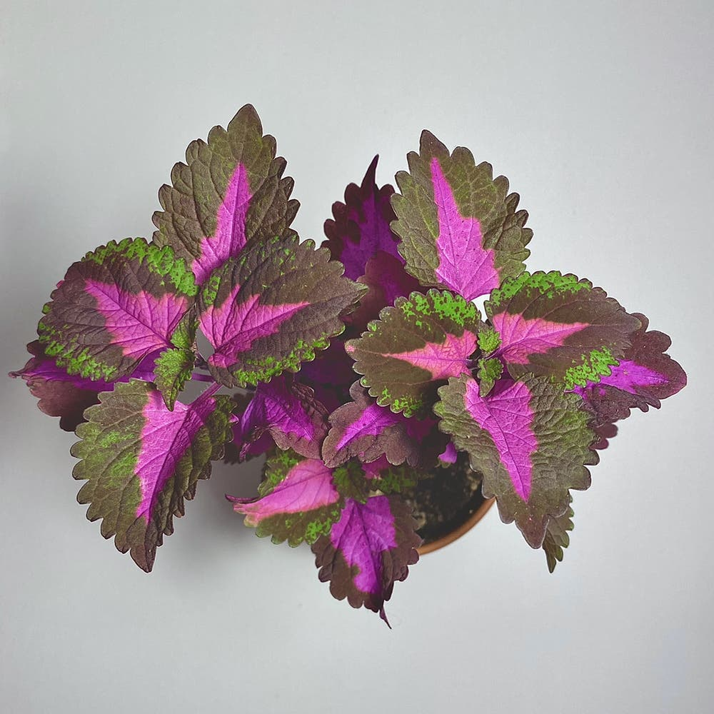 Photo of the plant species Coleus by Fridagrowberg named Vincent van Grow on Greg, the plant care app