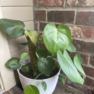 Dwarf Monstera Deliciosa plant photo by Nina named Gobi on Greg, the plant care app.