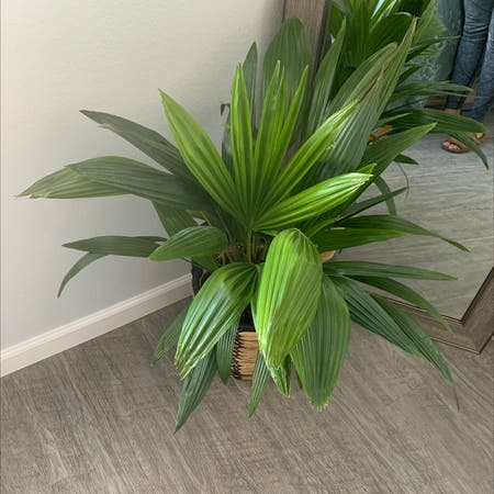Photo of the plant species Rhapis Excelsa by Sarcan4053 named Mando on Greg, the plant care app