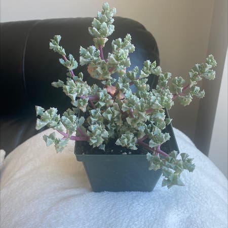 Photo of the plant species Deltoid-Leaved Dew Plant by Michelle named Henry on Greg, the plant care app