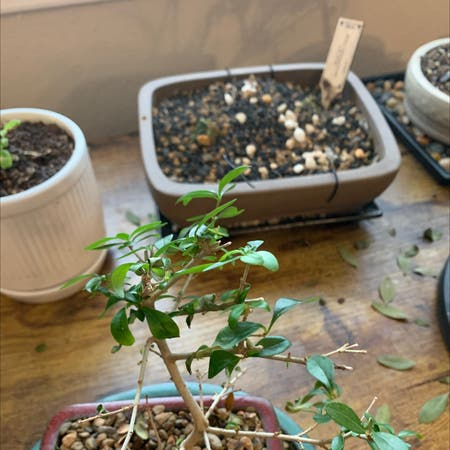Photo of the plant species Firethorn by Steven named Office little tree on Greg, the plant care app