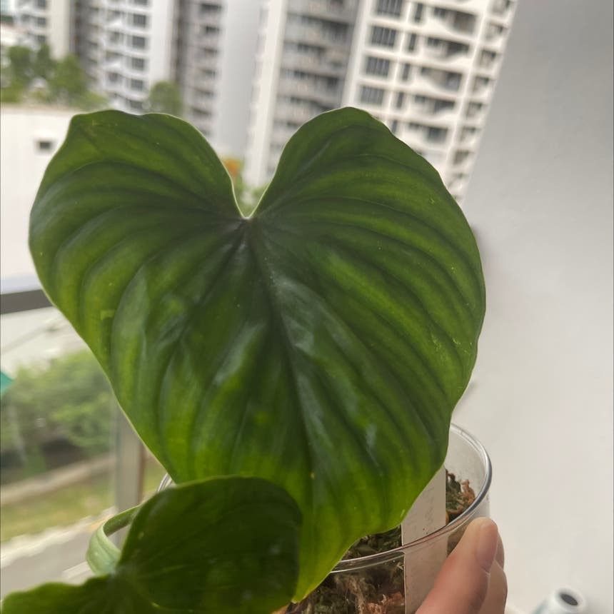 Philodendron plowmanii plant in Tampines, Singapore