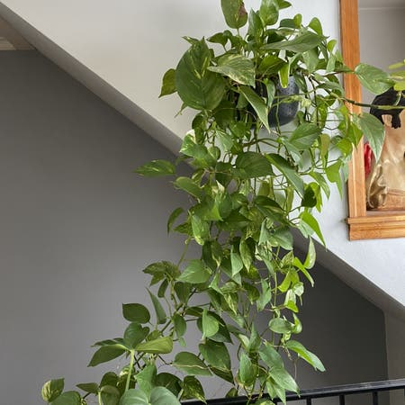Photo of the plant species Epipremnum Pinnatum by Carrie named Big Boi on Greg, the plant care app