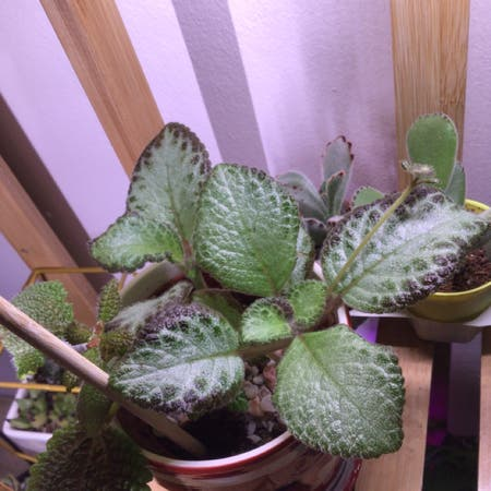 Photo of the plant species Silver Skies Episcia by Nathalie named Espicia on Greg, the plant care app