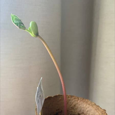 Photo of the plant species Climbing French Bean by Libby named Climbing purple bean on Greg, the plant care app