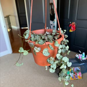 String of Needles plant photo by Jascindachiesa named Erastís on Greg, the plant care app.