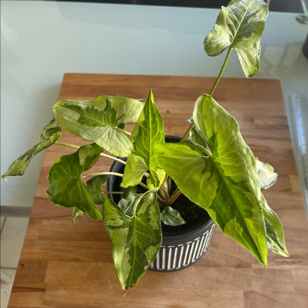 Photo of the plant species Three Kings Syngonium by Araneae named Kylie on Greg, the plant care app