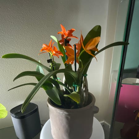 Photo of the plant species Cattlea orchid by Araneae named Orwell on Greg, the plant care app