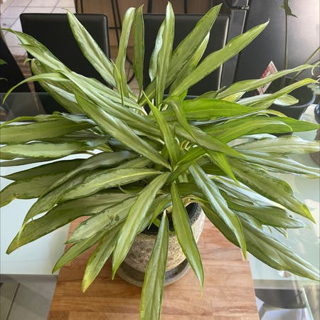 Photo of the plant species Chinese Evergreen 'Silver Queen' by Araneae named Homer on Greg, the plant care app