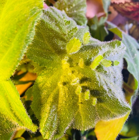 Photo of the plant species Piggyback Begonia by Maria named Mama on Greg, the plant care app